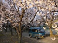 2012アトレーちゃんと桜.jpg